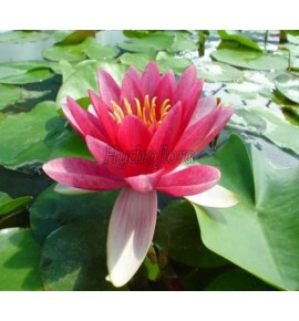 Nymphaea Attraction - Lilia wodna