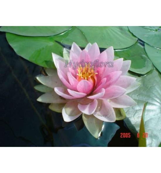 Nymphaea Holland - Lilia wodna