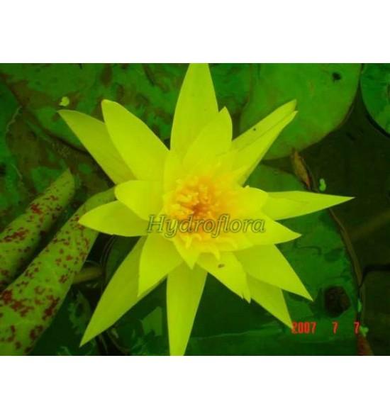 Nymphaea Sulphurea - Lilia wodna