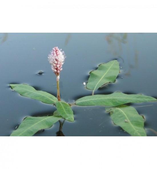 Polygonum amphibium (Rdest ziemnowodny)