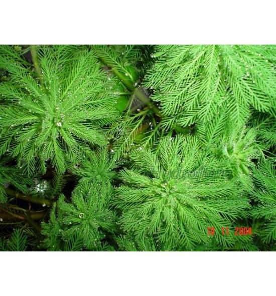Myriophyllum aquaticum (Wywłócznik wodny)