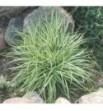 Carex ornithopoda Variegata (Turzyca ptasie łapki pstra)