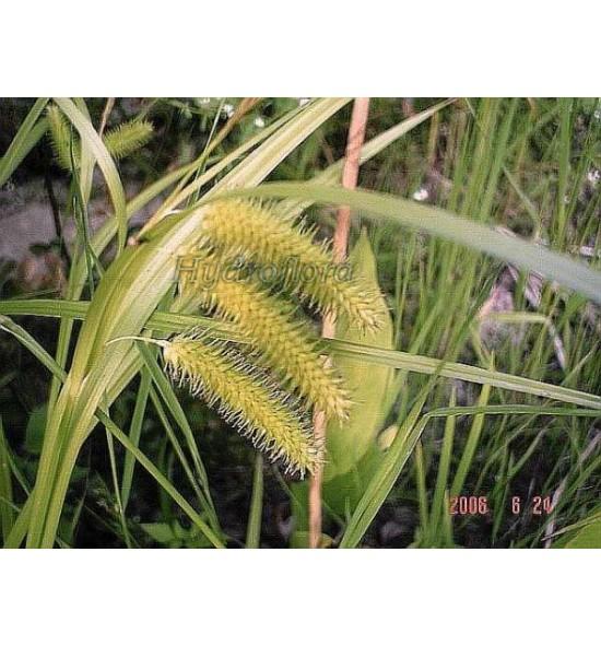 Carex pseudocyperus (Turzyca nibyciborowata)
