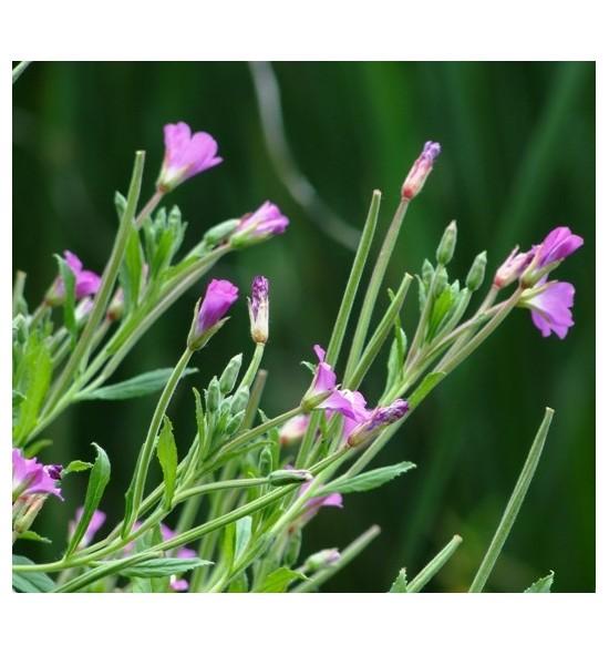 Epilobium parviflorum (Wierzbownica drobnokwiatowa)