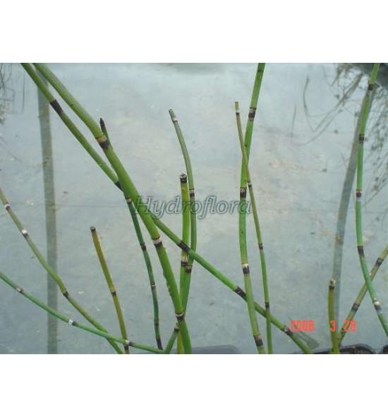 Equisetum hyemale (Skrzyp zimowy)