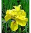 Iris pseudacorus 'Flore pleno (Kosaciec, Irys żółty pełny)