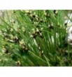 Juncus bulbosus (Sit drobny)