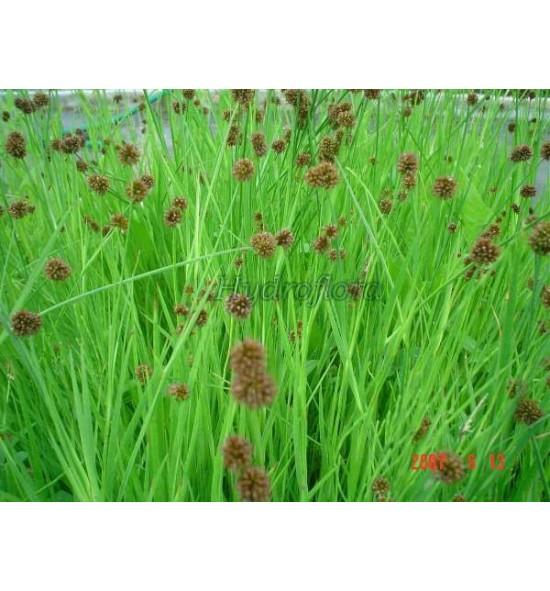 Juncus ensifolius (Sit mieczolistny)