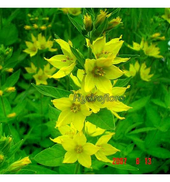 Lysimachia Punktata (Tojeść Kropkowana)