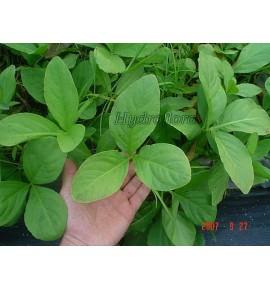 Menyanthes trifoliata (Bobrek trójlistny)