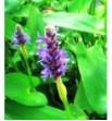 Pontederia cordata (Rozpław sercolistny) niebieski