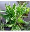 Rumex hydrolapathum (Szczaw lancetowaty)