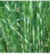 Scirpus tabernaemontanii Zebrinus (Oczeret paskowany)