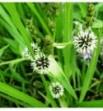 Sparganium erectum (Jeżogłówka gałęzista)