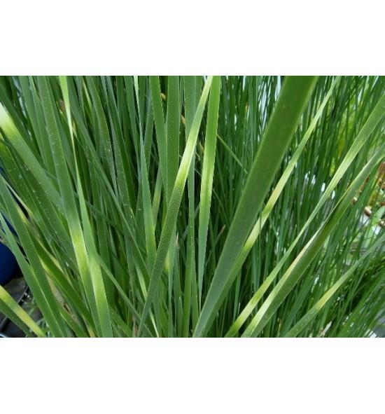 """Typha angustifolia 'Zebratails' - (Pałka wąskolistna """"Zebra"""")"""
