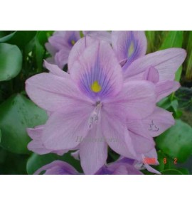 Eichhornia crassipes - (Hiacynt wodny)