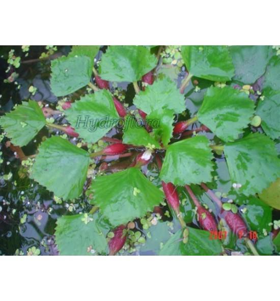 Trapa Natans (Kotewka orzech wodny)