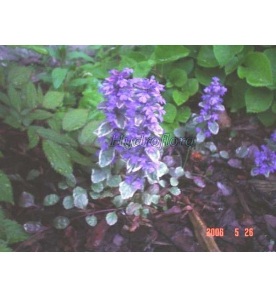 Ajuga reptans variegata (Dąbrówka rozłogowa pstra)