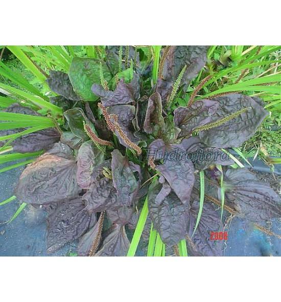 Alisma plantago major rubra (Babka czerwona)