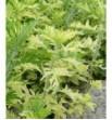 """Artemisia vulgaris """"Variegata-"""" (Bylica pstra)"""