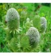 Eryngium agavifolium (Mikołajek agawolistny)