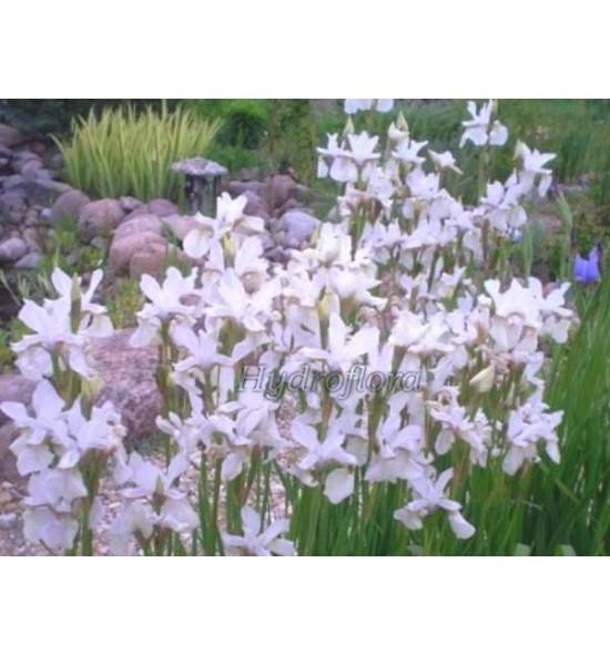 Iris sibirica alba (Kosaciec, Irys syberyjski biały)