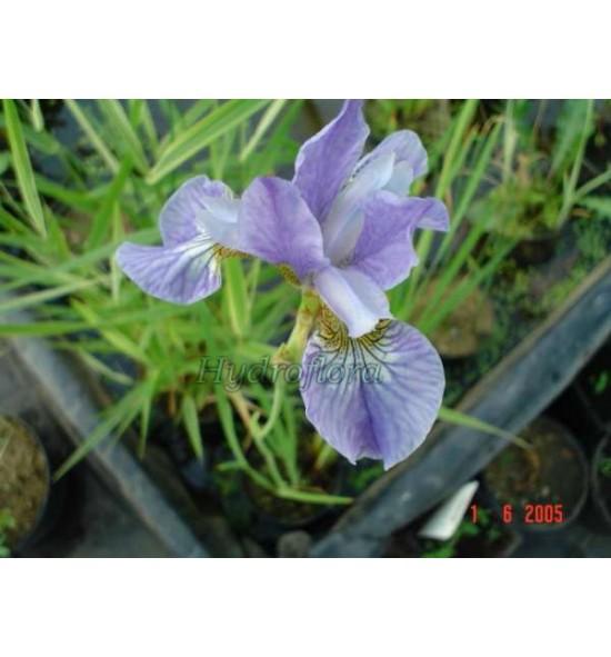 Iris sibirica cambridge (Kosaciec, Irys syberyjski niebieski)