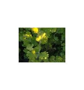 Macleaya aurea (Bokkonia)