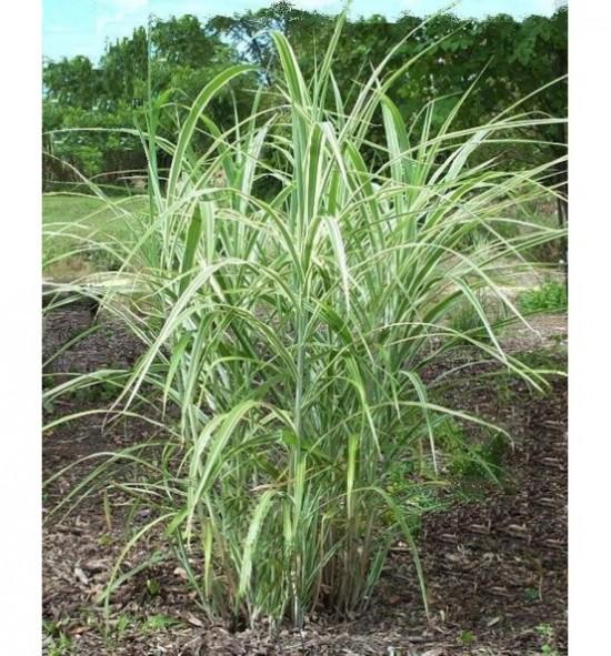 "Miscanthus sinensis ""Variegatus(Miskant chiński 'Variegata')"