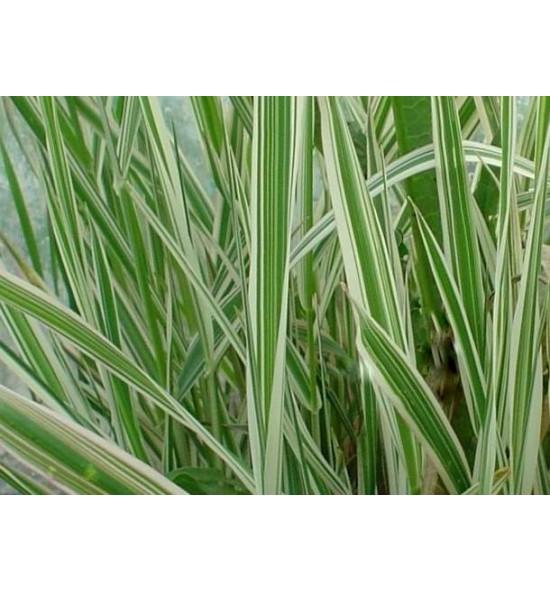 Phalaris arundinacea Feesey (Mozga trzcinowata Feesey)