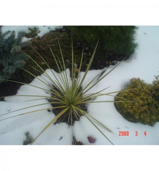 Yucca glauca (Juka sina)
