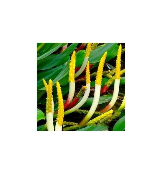 Orontium aquaticum (Oroncjum wodne)
