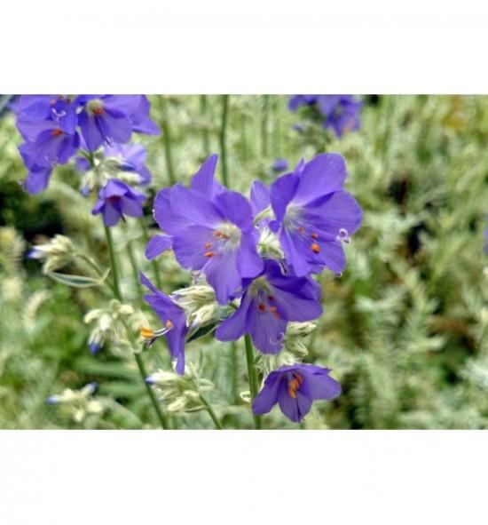 "Polemonium caeruleum ""Brise d'Anjou"" (Wielosił błękitny)"