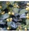 Lamium galeobdolon (Gajowiec żółty)