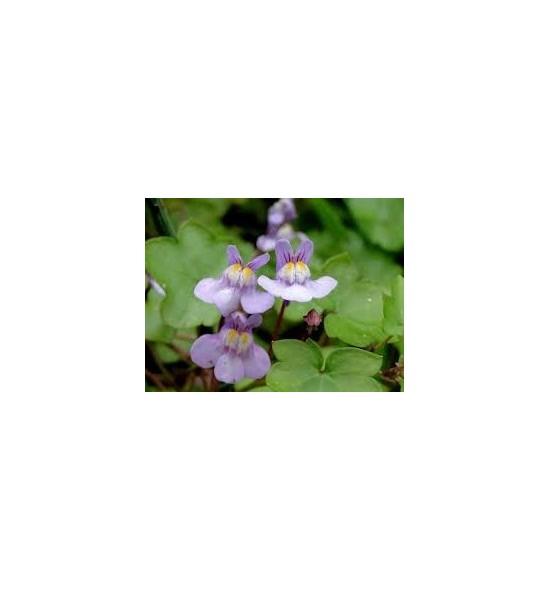 Cymbalaria muralis (Cymbalaria murowa)
