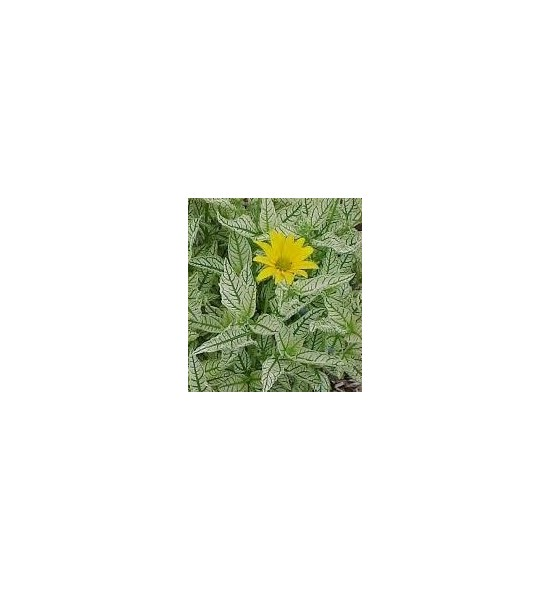 Heliopsis helianthoides Variegata (Słoneczniczek szorstki pstry)