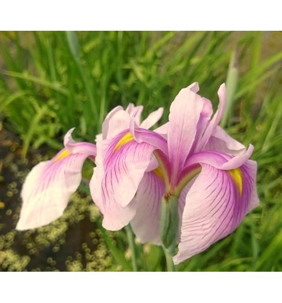 Iris laeviagata Rose Queen, syn. Iris ensata Rose Queen- Kosaciec gładki, kosaciec japoński
