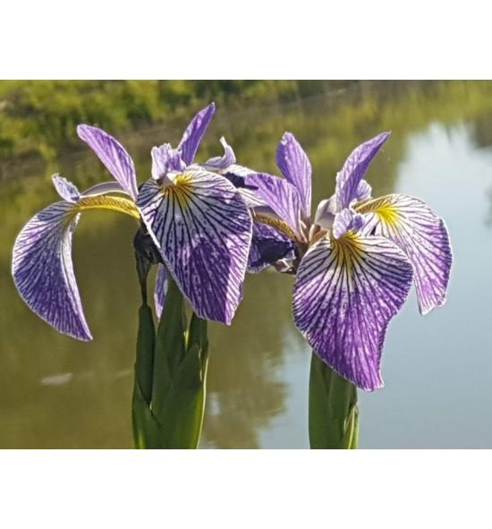"""Iris pseudacorus- Kosaciec żółty """"Spartacus"""""""
