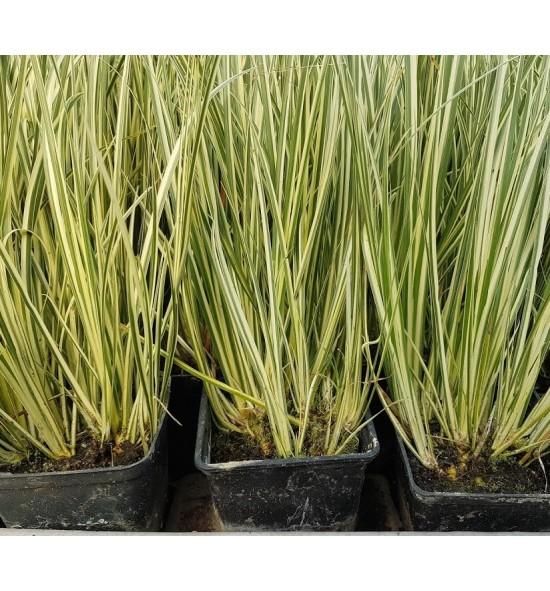 Acorus gramineus variegata (Tatarak trawiasty - biało-zielony)