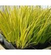 Acorus gramineus Ogon (Tatarak trawiasty - żółto-zielony)