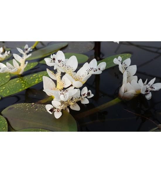 Aponogeton distachylos – (Onowodek dwukłosowy)
