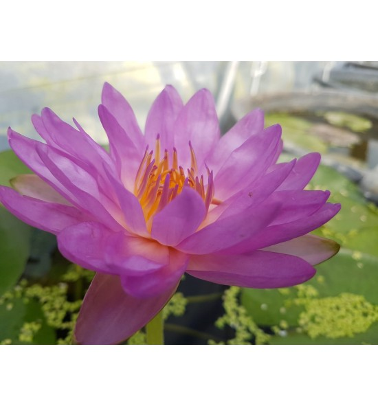 Nymphaea Siam Purple 2 - Lilia wodna