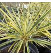 """Yucca filamentosa Golden Sword ( Juka zwisłolistna """"złoty miecz"""")"""