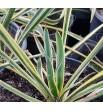 Yucca filamentosa variegata - Juka zwisłolistna pstra