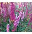Persicaria affine - Rdest pokrewny