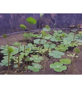 Marsilea quadrifolia Marsylia czterolistna