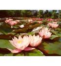 Strefa 30-120 głęboka, lilie wodne